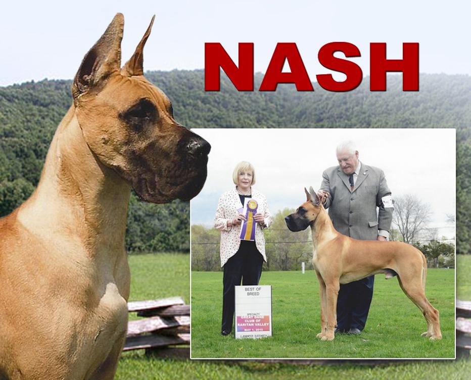 "June Feature – BISS Bronze GCH Rosendane's The Big Shot, AOM ""Nash"""