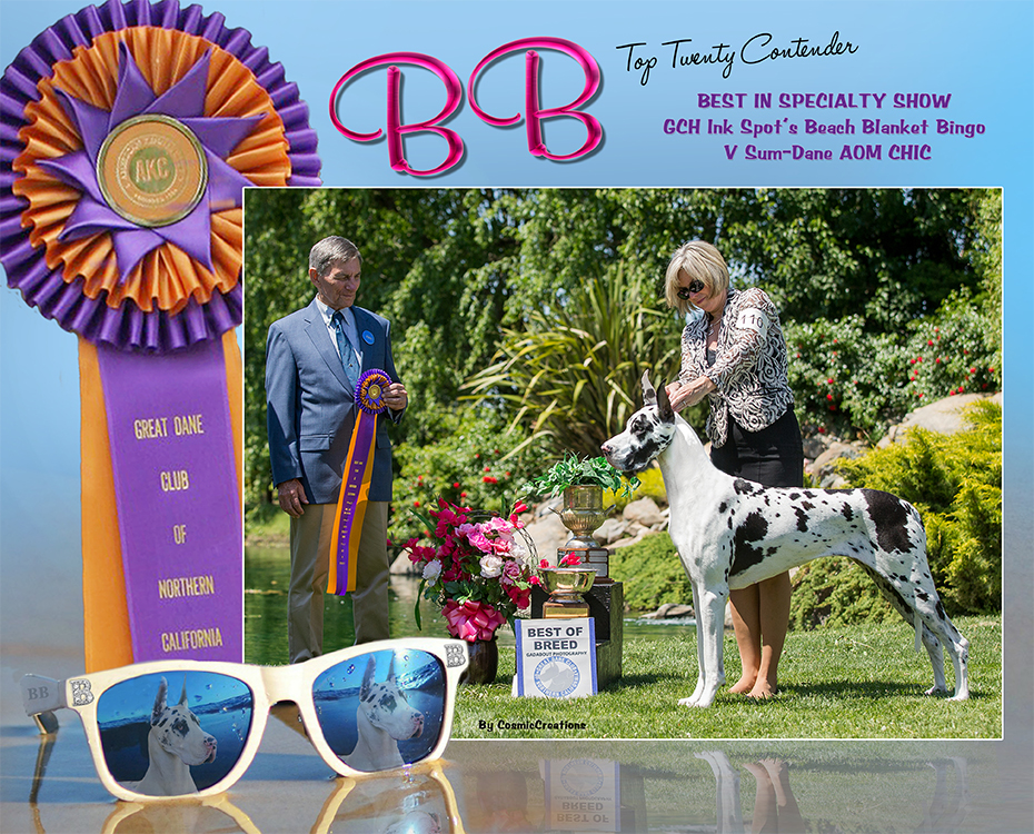 July Feature – BISS GCH Ink Spot's Beach Blanket Bingo V Sum-Dane, AOM CHIC