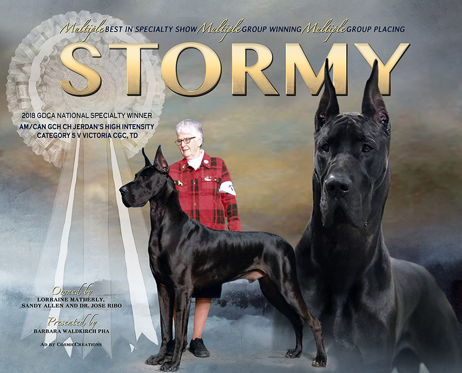 "February Feature – MBISS Am/ Can GCH Jerdan's High Intensity Category 5 Victoria, CGC TD ""Stormy"""